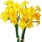Picture of FLOWERS YELLOW JONQUIL